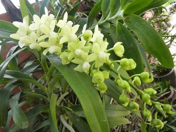 Hoa lan giáng hương quế