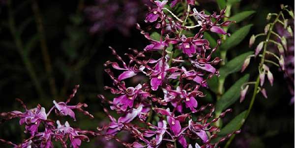 Hoa lan bọ cạp 1.1