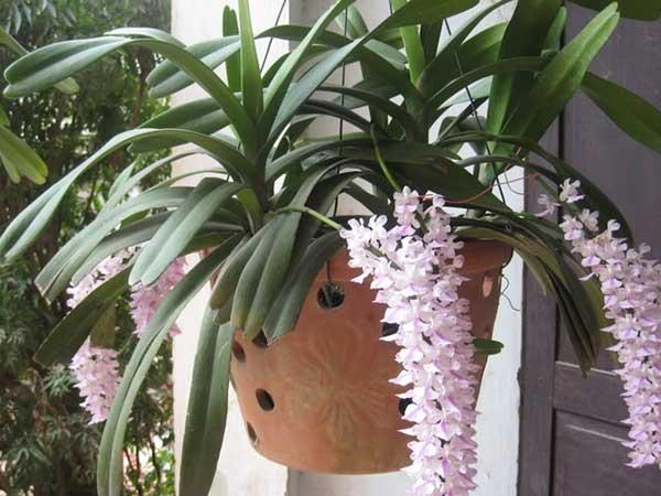 Lan đuôi cáo – Loài hoa vừa đẹp sắc vừa thơm hương