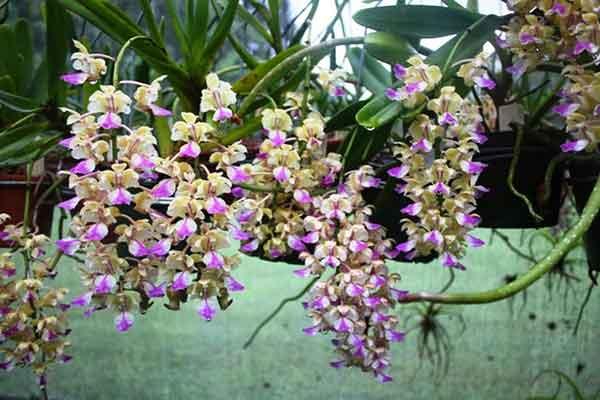 Hoa lan giáng hương 1