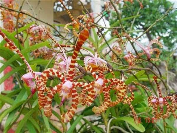 Hoa lan bọ cạp 1.3