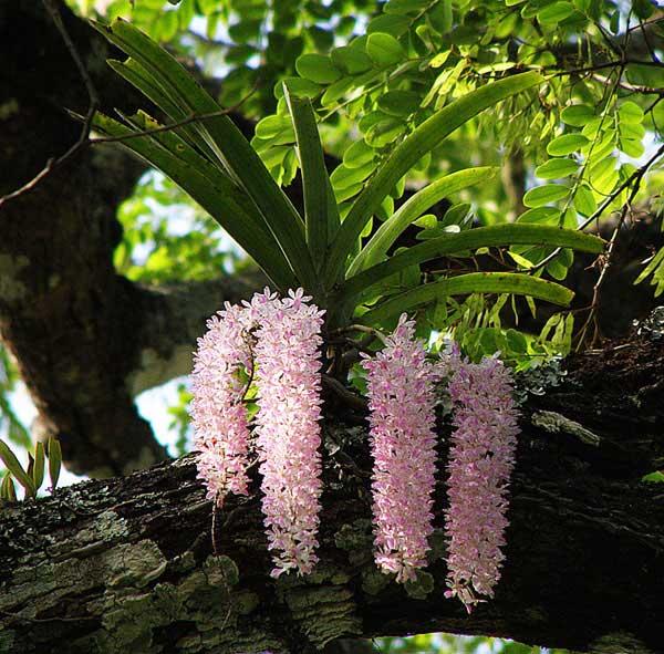 Hoa lan đuôi cáo 1