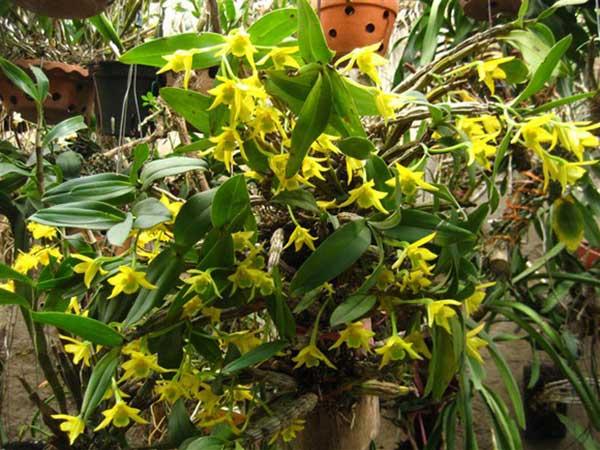 Hoa lan móng rùa 5