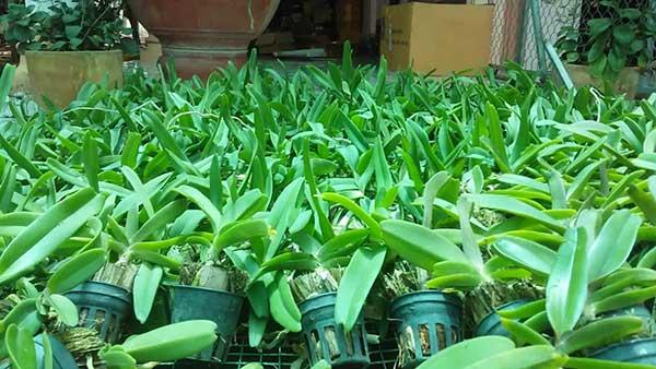 Hoa lan ngọc điểm đai châu 1