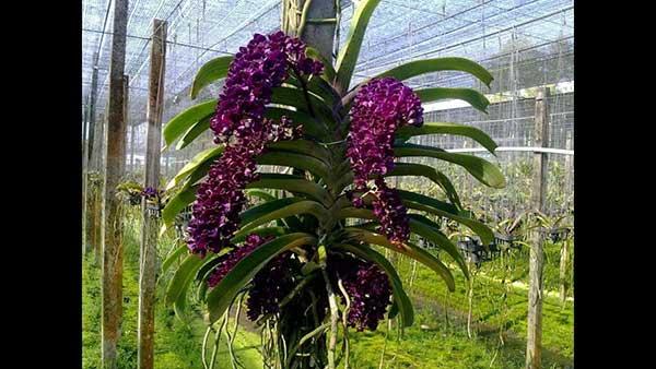 Hoa ngọc điểm đai châu 2