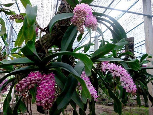 Hoa ngọc điểm đai châu 3