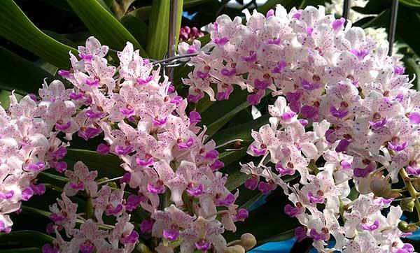 Hoa lan ngọc điểm đai châu 4