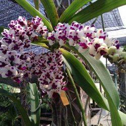 Hoa lan ngọc điểm đai châu 5