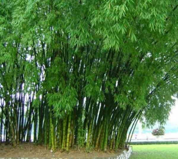 Hình ảnh cây tre và đặc điểm của hoa tre
