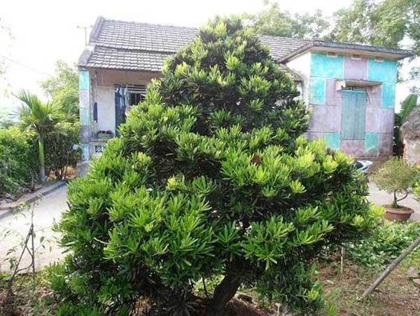 Các loại cây tùng ở Việt Nam