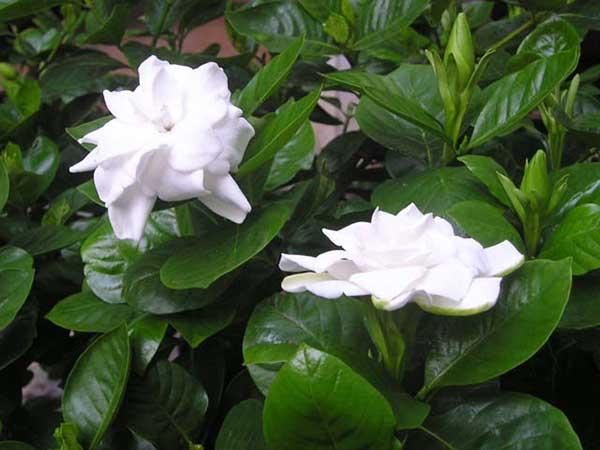 Hoa bạch thiên hương – Cách trồng và chăm sóc hoa bạch thiên hương
