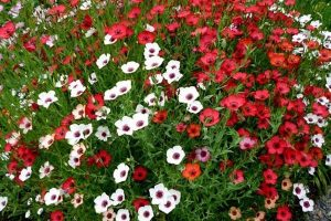 hoa-dep-hoa-trồng-dc-5-năm