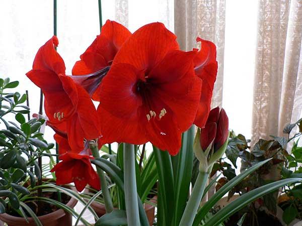 Hoa loa kèn đỏ – Ý nghĩa và cách trồng hoa loa kèn đỏ