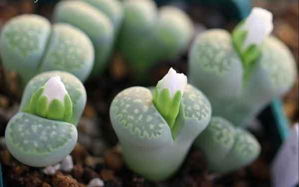 Đặc điểm và ý nghĩa của cây hoa đá