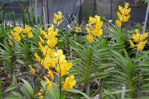 Đặc điểm của giống lan mokara