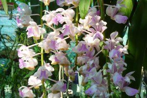 Đặc điểm của hoa giáng hương tam bảo sắc