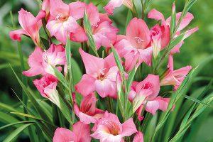 Đặc điểm của hoa lay ơn