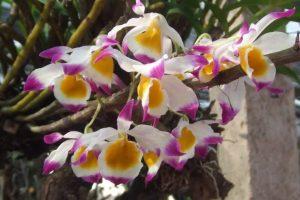 Đặc điểm của lan ngọc thạch