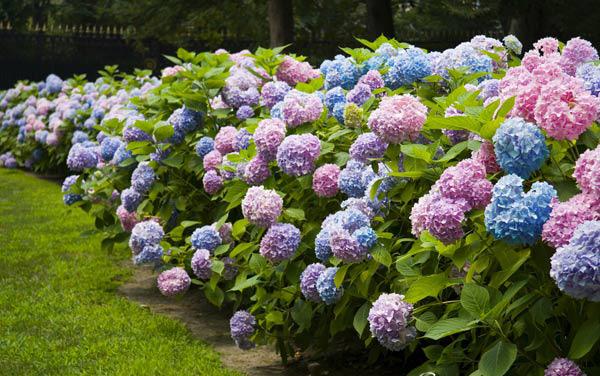 Cách đổi màu hoa cho cẩm tú cầu.