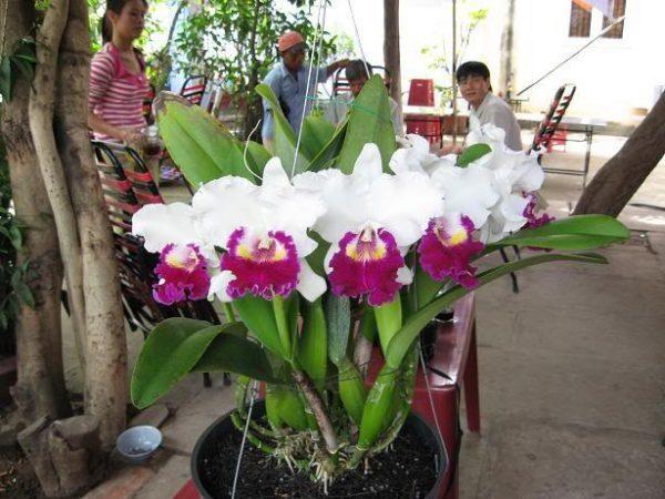 Cách cho lan Cattleya ra hoa