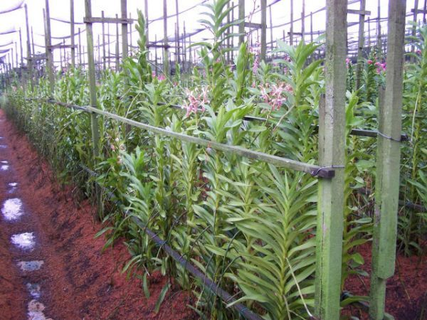 Cách trồng lan mokara