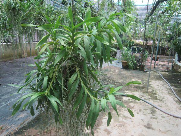 Cách trồng và chăm sóc cây hoa lan giáng hương tam bảo sắc