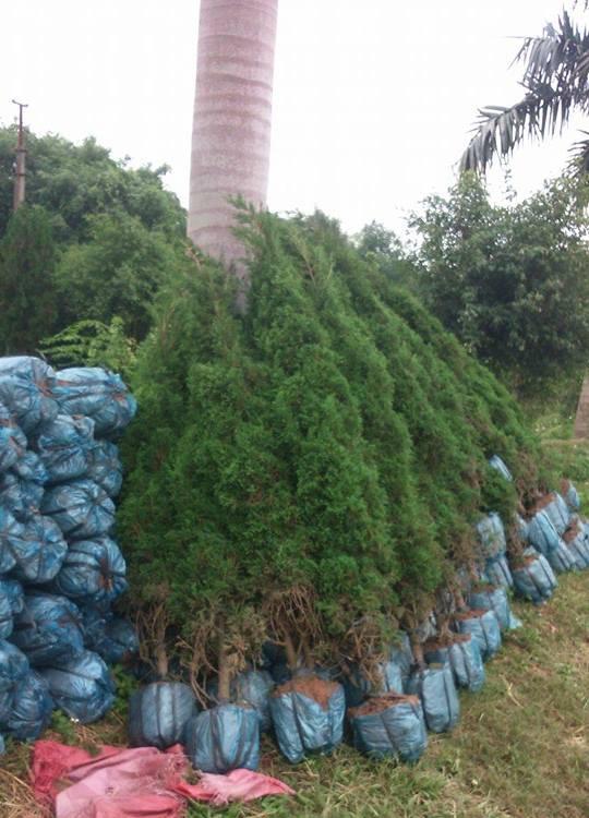 Cách trồng và chăm sóc cây tùng tháp