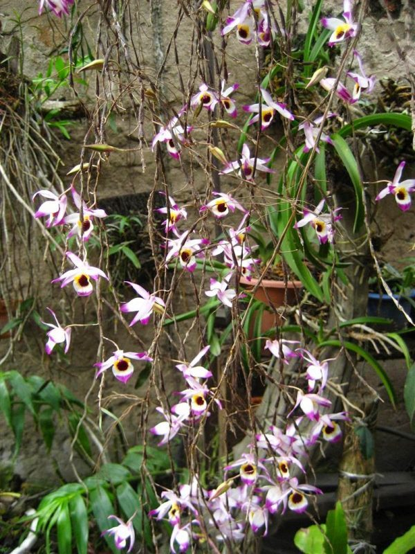 Cách trồng và chăm sóc lan Hoàng thảo trúc mành