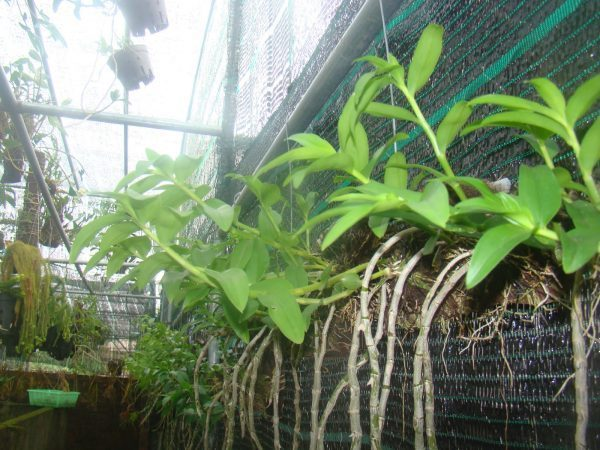 Cách trồng và chăm sóc lan giả hạc