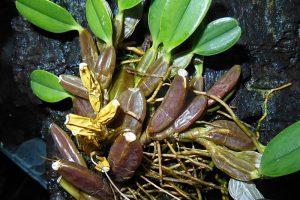 Cách trồng và chăm sóc lan vảy rồng