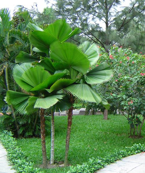 Cây kè nhật – loại cây xanh công trình đẹp độc đáo