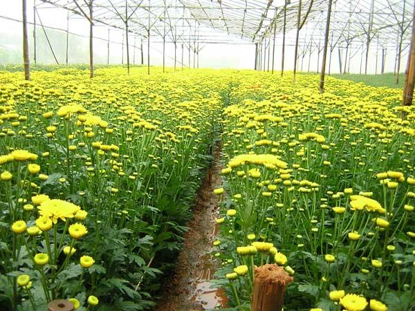 Cách trồng và chăn sóc hoa cúc