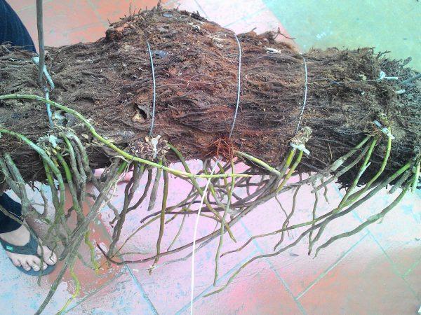 Gía thể trồng lan hạc vỹ