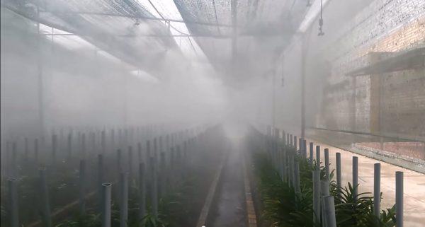 Cách trồng và chăm sóc cây chu đình lan 1