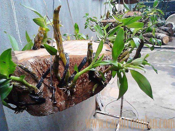 Kĩ thuật trồng cây lan kim điệp