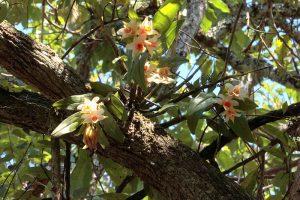 Nhất điểm hoàng - Dendrobium cariniferum