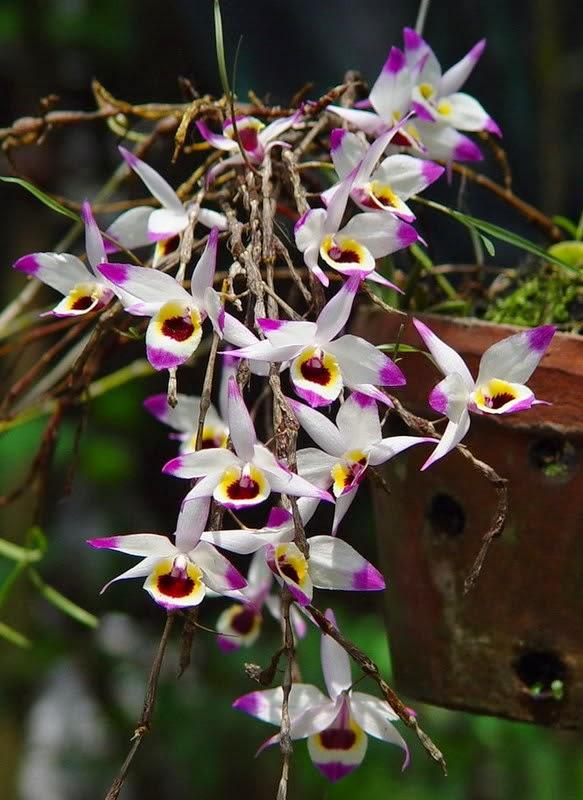 Phòng và trị bệnh cho cây lan hoàng thảo trúc mành