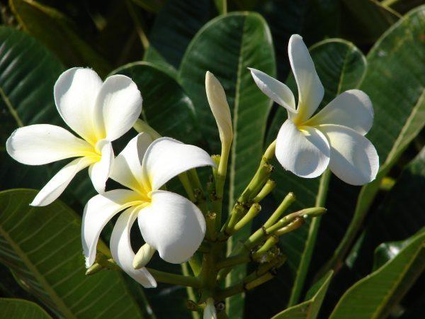 công dụng của cây hoa sứ trắng