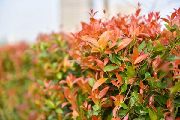 đặc điểm cây hồng lộc
