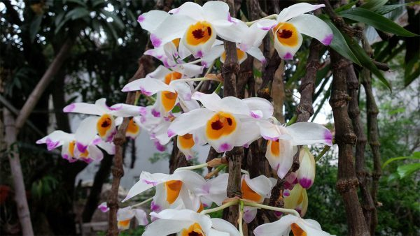 Đặc điểm của lan hoàng thảo u lồi (lan tứ bảo sắc)