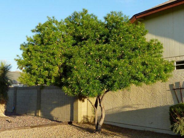 Đặc điểm sinh thái của cây thông thiên
