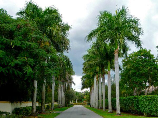 Cách trồng và chăm sóc cây cau vua
