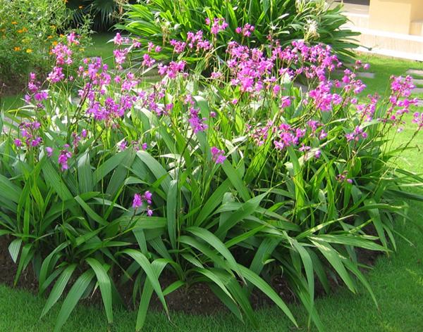 hướng dẫn cách trồng và chăm sóc cây chu đình lan