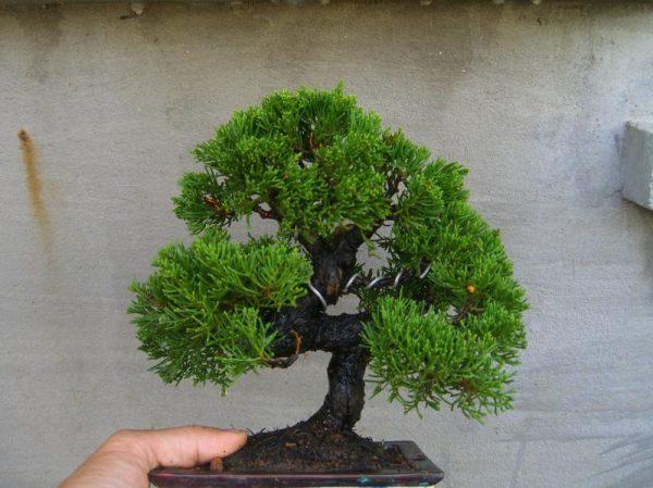 tỉa cành tạo tán cho cây
