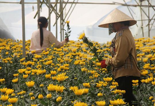 thu hoạch hoa cúc