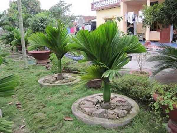 Cây cau lùn hướng dẫn cách trồng và chăm sóc cau lùn đẹp