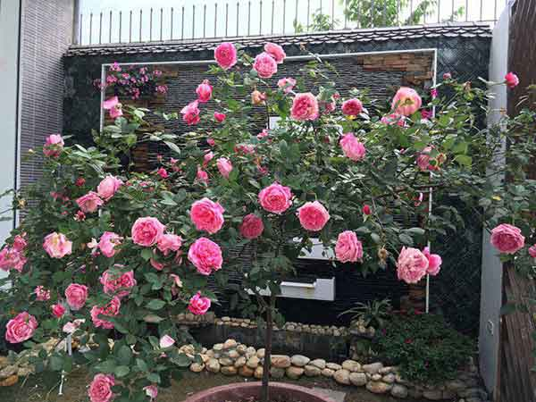 tree-rose-sapa-choi-tet-1a