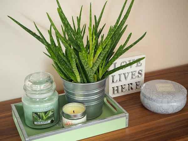 Cây lô hội – Cách trồng và chăm sóc cây lô hội, công dụng của cây lô hội