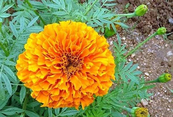 Công dụng hoa cúc vạn thọ – Hướng dẫn trồng và chăm sóc hoa cúc vạn thọ