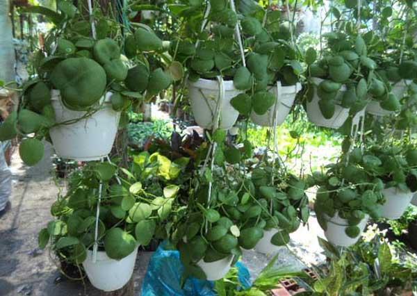 Cây đô la – Cách trồng và chăm sóc cây đô la đơn giản